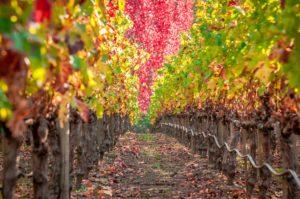 Fall colors in Napa vineyard